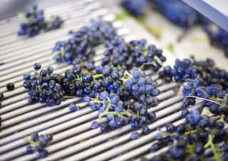 Beaujolais vinification: a process like no other