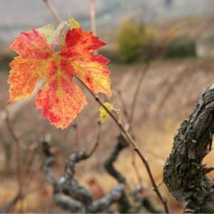 chute feuille vigne beaujolais