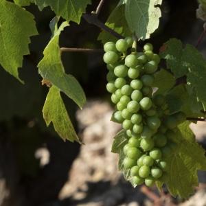 Fermeture de la grappe beaujolais